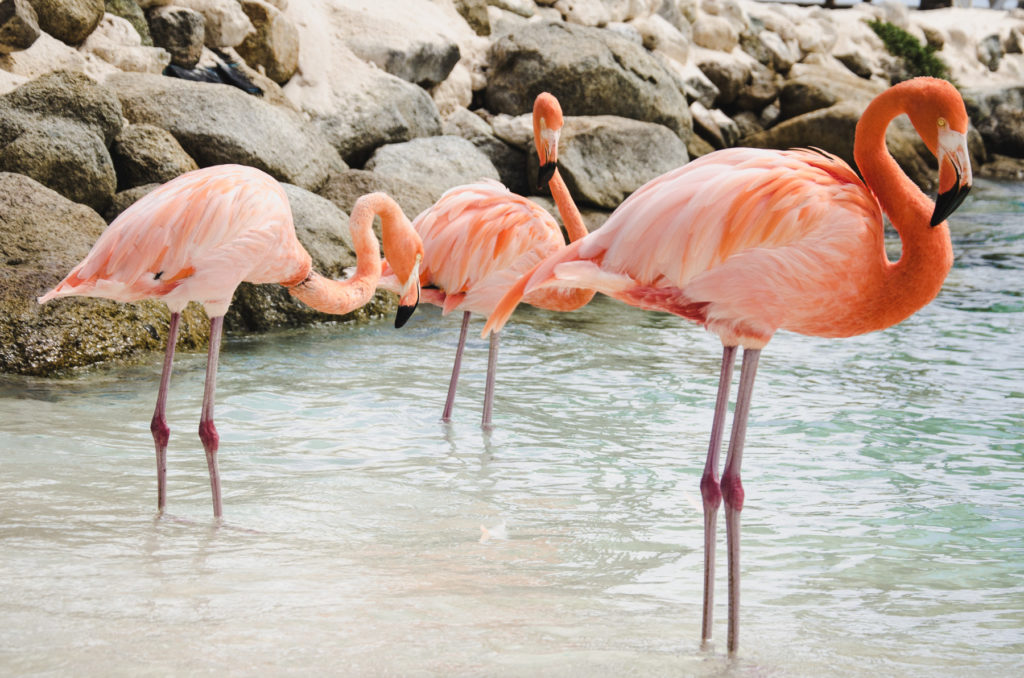 Flamingo beach in Aruba is a bucket list place. Check on our blog where you may see these pinky birds while visiting Aruba.