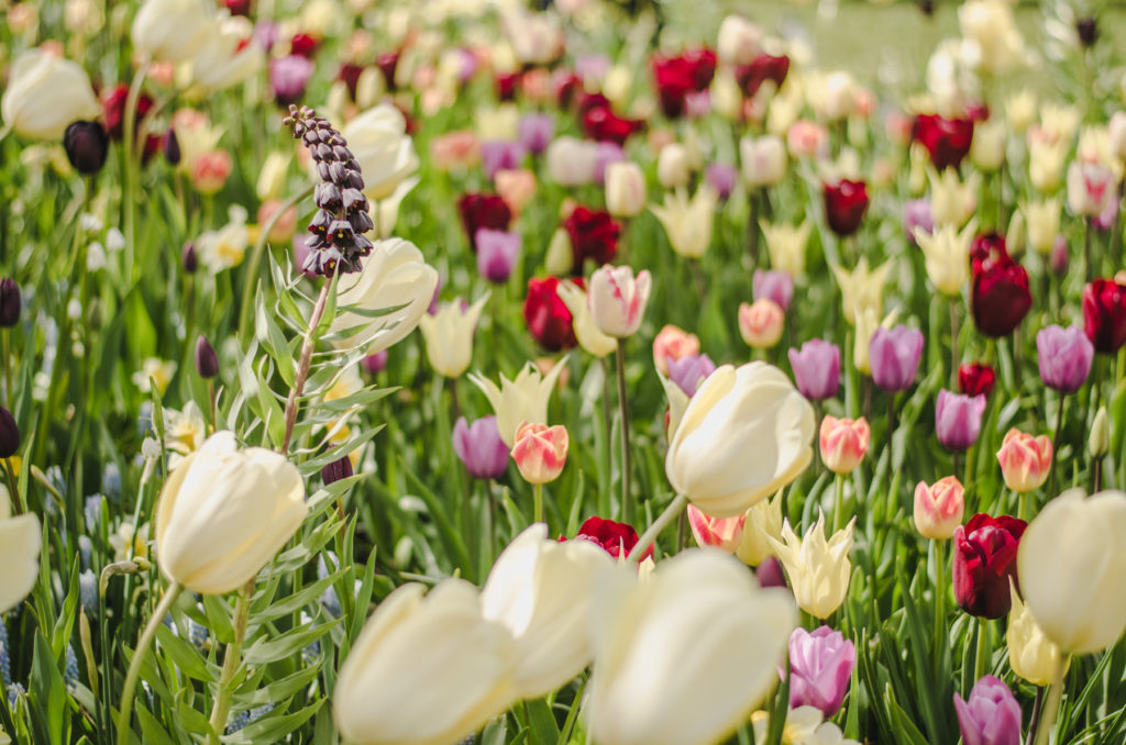 Chcecie odwiedzić Keukenhof? Przeczytajcie naszą relację i zobaczcie, gdzie jeszcze możecie zobaczyć tulipany w Holandii.